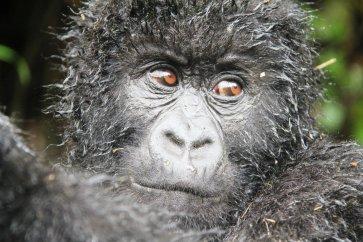 gorilla.1